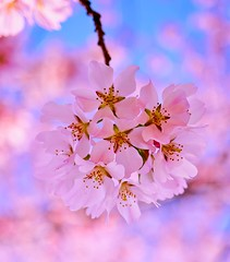 Cherry awesome (CU TEO MD) Tags: pink cherryblossom flower tree artofimages ngc twop soe sony a6300 macrophotography maryland macrodreams macrophotographers macro outdoor bloom