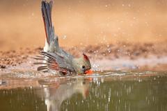 Mrs. Northern Cardinal takes her bath (tspine) Tags: northerncardinal santaclararanch texas