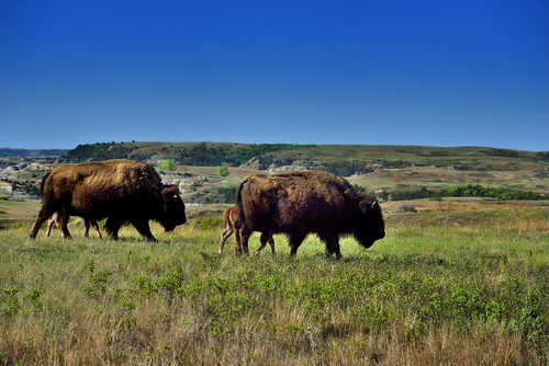 A Herd of Bison Roaming the Prairie Grasses of Theodore Roosevelt National Park