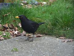 Blackbird Male Profile (river crane sanctuary) Tags: blackbird male bird rivercranesanctuary