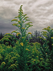 goldenrod (Solidago sp. - Asteraceae) (Brian Kermath (e.h.designs)) Tags: goldenrod solidagospecies wisconsin asteraceae asterfamily compositefamily daisyfamily sunflowerfamily sky skies clouds botanical smartphone phonecam