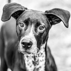 Albus18Jan201922-Edit.jpg (fredstrobel) Tags: dogs pawsatanta phototype atlanta blackandwhite usa animals ga pets places pawsdogs decatur georgia unitedstates us