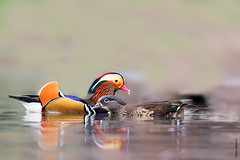 Mandarin ducks (Mary Bassani) Tags: mandarina duck mandarinduck pato racconigi italy couple colors nikon naturewildlife nature naturelovers