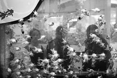 (perryge) Tags: hongkong streetphotography people girls students fish tank aquarium goldfish candid blackandwhite film ilfordxp2 hc110 leicam6 leica35mmf2summicronv4 water glass kowloon whampoa
