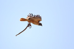 Snake tries to bite the red tail in mid air (charlescpan) Tags: