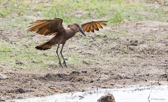 Hamerkop -7477 (Theo Locher) Tags: birds hamerkop oiseaux scopusumbretta vogels vögel krugernationalpark kruger zuidafrika southafrica copyrighttheolocher
