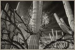 Sabino Canyon #18 2019; Battle of the Plants (hamsiksa) Tags: plants flora desertplants xerophytes succulents trees mesquite cactaceae cacti cactus saguaros carnegieagigantea desert sonorandesert sabinocanyon bajada santacatalinamountains coronadonationalforest arizona tucson pimacounty blackwhite infrared digitalinfrared landscape botanicals