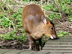 Muntjac under feeders 13.3.19 (ericy202) Tags: muntjac deer female pregnant titchwell rspb