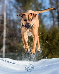 Picture of the Day (Keshet Kennels & Rescue) Tags: adoption dog ottawa ontario canada keshet large breed dogs animal animals pet pets field nature photography jump hop flying fly mastiff lab labrador snow
