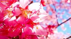The pink is back (@manylaughs) Tags: manylaughs blossoms macro closeup cherry cherryblossoms arlingtonva
