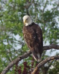 Bald Eagle looking down at pond (Scott Severn) Tags: curtner bald eagle