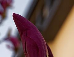 Sensuel - Sensual (p.franche malade - Sick) Tags: fleur flower macro nature bokeh sony sonyalpha65 dxo photolab2 bruxelles brussel brussels belgium belgique belgïe europe pfranche pascalfranche schaerbeek schaarbeek magnolia bouton sensuel pourpre pétales printemps button sensual purple petals spring blume 花 blomst flor פרח virág bunga bláth blóm bloem kwiat цветок kvetina blomma květina ดอกไม้ hoa زهرة