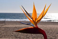 bird (greenelent) Tags: flower socal birdofparadise ocean pacificocean manhattanbeach ca california