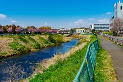 Tsurumi River in spring : 春の鶴見川 (Dakiny) Tags: 2019 spring april japan kanagawa yokohama aoba aobaku aobaward ichigao nature landscape flower river sky sony a5100 selp1650