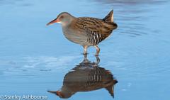 Water Rail. (stanley.ashbourne) Tags: bird waterrail stanashbourne birdphotography nature wildlife