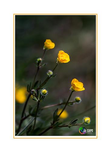 Bouton d'or: « Que celui qui cherche la sagesse, la cherche dans un renoncule ou une pincée d'argile rouge »  De K.Gibran
