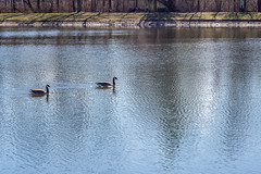 afternoon swim (wwnorm) Tags: northpondspark webstertrails websterny aquatic birds geese parks
