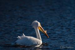 20190408-DSC_7399.jpg (GrandView Virtual, LLC - Bill Pohlmann) Tags: bird americanwhitepelican wisconsin wildlife waterfowl stcroixriver northhudsonwi