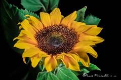 El girasol en la penumbra - The sunflower in the gloom (Luis FrancoR) Tags: elgirasolenlapenumbrathesunflowerinthegloom girasol sunflower flores flowers macro luisfrancor ngw ngs ngd ngg ngm ng ngc ngo yellow amarillo colombia colors d600 nikon nikonistas nikonflickraward nikon60mm28 nikond600