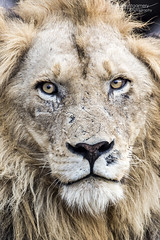 Lion - Kruger National Park (BenSMontgomery) Tags: lion kruger national park king skukuza lower sabie big cat road sleep eyes
