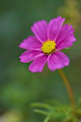 Cosmos (pstenzel71) Tags: blumen natur pflanzen schmuckkörbchen cosmos cosmosbipinnatus darktable flower bokeh