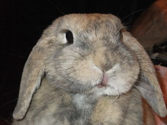 Wet mouf (eveliensbunnypics) Tags: bunny rabbit lop lopeared polly indoor inside house face closeup mouth mouf lips pink eye eyes lashes eyelashes wet drippy water okt