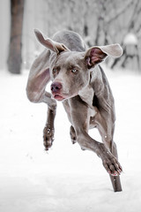 Snow Bunny (Neil_Wagner) Tags: weimaraner snow running boo ears action cute adorable dog
