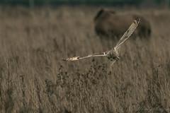 Short Eared Owl-2663 (WendyCoops224) Tags: 100400mml 80d fens winterwatch canon eos ©wendycooper short eared owl asio flammeus raptor