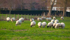 Sheep @ Winter Weald (Adam Swaine) Tags: sheep flockofsheep animals farming kent kentweald english england britain counties countryside uk ukcounties rural ruralkent englishlandscapes canon kentishlandscapes grazing beautiful winter