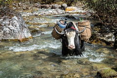 Loaded yak cooling off in the Thampe Chhu river - Wangdue Phodrang district - Snowman Trek - Bhutan (PascalBo) Tags: nikon d500 asie asia southasia asiedusud drukyul drukgyalkhap bhutan bhoutan འབྲུག་ཡུལ། འབྲུག་རྒྱལ་ཁབ་ snowman trek trekking hike hiking lunana wangduephodrang himalaya himalayas river rivière yak yack outdoor outdoors pascalboegli