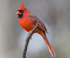 Cardinal in the Spotlight (Yer Photo Xpression) Tags: 2018 animal bird forsyth georgia northerncardinal ronmayhew canoneos6dmarkii red coth alittlebeauty coth5