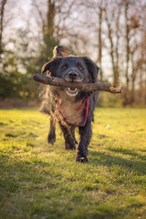 Charlie (MilesGrayPhotography (AnimalsBeforeHumans)) Tags: sonya7rii sonyilce7rm2 sony sonyfe55mmf18za portrait pet dog petphotography animal primelens 55mm retrievernewfoundlandmix retriever newfoundland rescuedog mansbestfriend