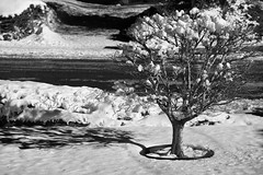 """Frost and sun, a wonderful day""  -A. Pushkin (peter.a.klein (Boulanger-Croissant)) Tags: blackandwhite bw black white blanc noir noiretblanc negro blanco schwarz weiss leica monochrom snow dogwood bush shadow sunlight"