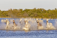 Chevaux  en liberté (Xtian du Gard) Tags: xtiandugard camargue provence france animaux chevaux horses eau water