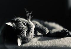 bliss (claudia 222) Tags: cat blackwhite bw manualfocus zeissplanart85mmf14zf2 sunshine asphalttiger happy gfx50r fuji