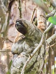 Three-toed Sloth (kaw209) Tags: etsy ecuador furry mammal threetoedsloth sloth amazonrainforest kwinkelerphotos pilchicocha nikond7200 cnpa sachalodge