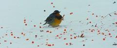 """If I eat one more, I'l burst"" (starmist1) Tags: mountainashberries field backyard february winter cold mountainash tree snow snowfield variedthrush bird berry orangeberry"