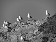 Seagulls on the rocks (panoskaralis) Tags: seagull birds seabirds nature watching blackandwhite blackwhite outdoor landscape fygokentrosbeach lesvosisland lesvos mytilene greece greek hellas hellenic greekisland greeknature nikoncoolpixb700 nikon nikonb700 rocky