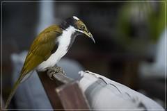 Blue Faced Honeyeater (juvenile bird) (georg_dieter) Tags: australia bird honeyeater bluefacedhoneyeater queensland