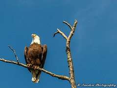 The Perch (R. Sawdon Photography) Tags: eagle raptor bird feathers branches tree sky baldeagle americaneagle wild