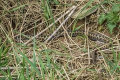 Adder - Viper berus 1 (Matchman Devon) Tags: adder viper berus south hams devon tobys path