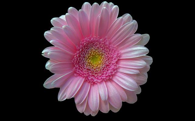Обои Макро, Фон, Гербера, Gerbera, Macro, Pink Gerbera, Розовая гербера картинки на рабочий стол, раздел цветы - скачать