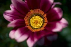 Flor Violeta - CapOne - _GEA1320 2 (gedaesal) Tags: sonya7mii gedaesalgmailcom closeup details nopeople colors flower head macrodreams