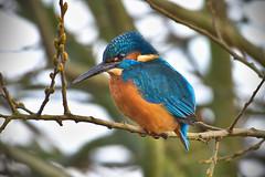 KINGFISHER (edward.chitty) Tags: d7200 nikon 200500mm wildlife wwt water pond bird