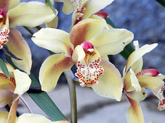 Orchid (danieljsf) Tags: orchid flower plant yellow bloom