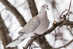 IMG_5170 eruasian dove (starc283) Tags: starc283 dove turtle bird birding nature wildlife canon animal outdoor landscape field eurasiandove naturesfinest naturewatcher flicker flickr