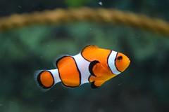 Animal clown fish - Credit to https://homegets.com/ (davidstewartgets) Tags: animal clown fish swimming underwater water