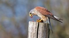 Takeaway (redmanian) Tags: kestrel bird raptor birdofprey ianredman