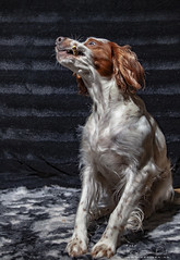 IMG_8565-2048 (raolsen.foto.video) Tags: dixie irish red white setter dogs