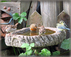 (Deida 1) Tags: robin bluetits housesparrows garden birdbath birds uk staffordshire meeting wildlife bathing